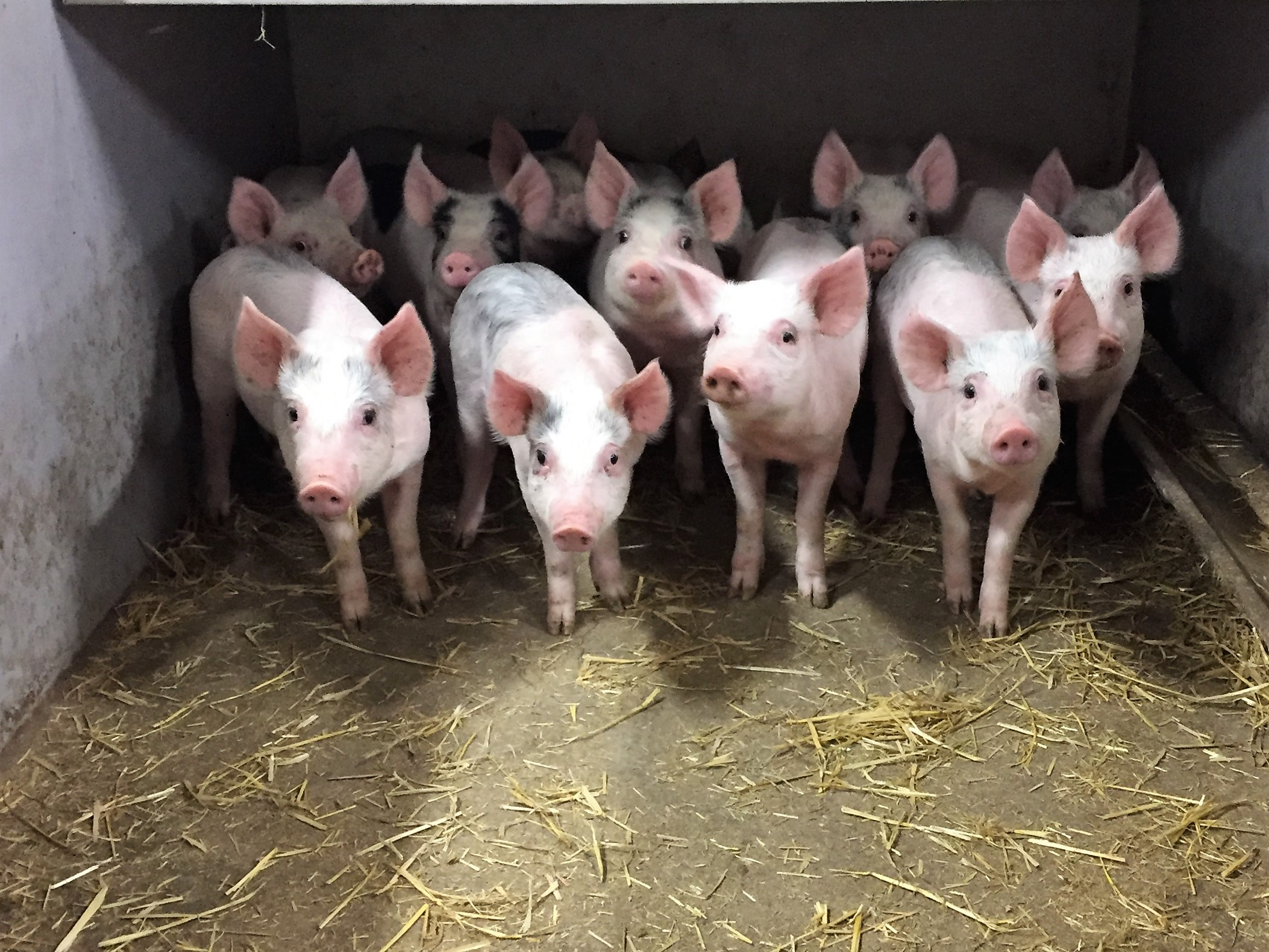 OK-Net EcoFeed Growing Pigs