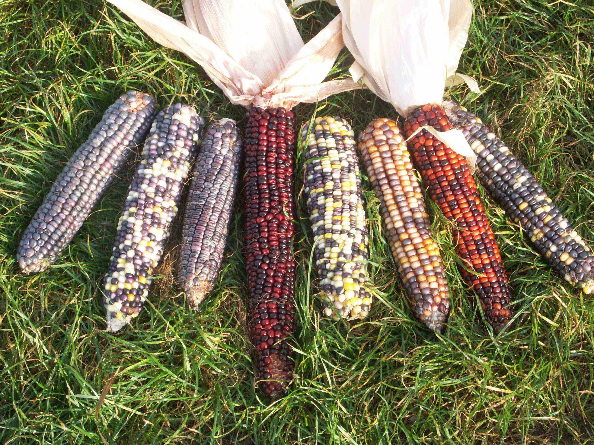 GMOs gene editing biodiversity mais corn